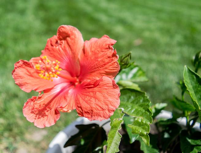 Summer Patio Update Hibiscus Close Up